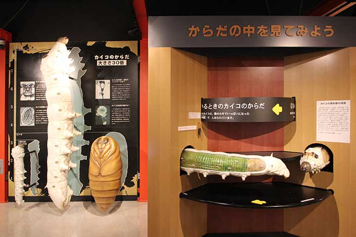 Giant model of silkworm / Rotating model of silkworm anatomy